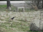 Crow calmly walking the labyrinth - actually looking for food.