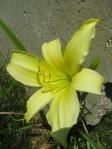 Kramer's Flower Farm Lily in the labyrinth