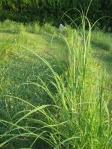 Prairie Plants - masters at harvesting moisture