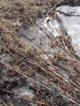 Ice and Grasses