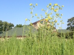 compass plant at Prairiewoods