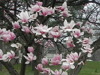 Last season for the Magnolia tree.